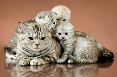 family group of four fluffy  beautiful kitten with mother, breed scottish-fold,  lie on brown  background  Stock Photo