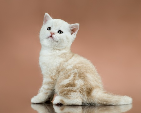 fluffy white-brown beautiful kitten, breed scottish-straight,  on brown  background , lamentably look photo