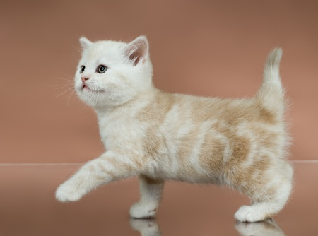 racy: fluffy white-brown beautiful kitten, breed scottish-straight,  step on brown  background