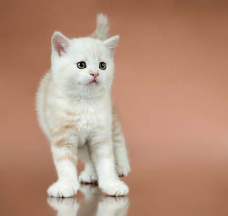 dolorous: fluffy white-brown beautiful kitten, breed scottish-straight,  on brown  background , lamentably look