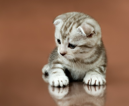 dolorous: the fluffy striped gray beautiful kitten, breed scottish-fold,   on brown  background Stock Photo