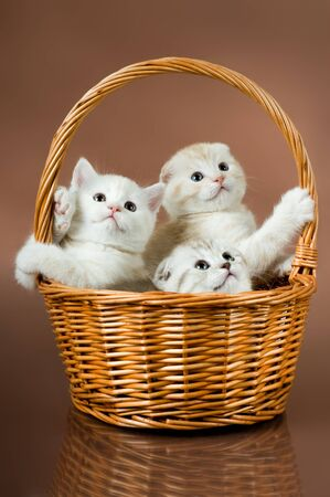 diminutive: group of white beautiful fluffy little kittens, in basket on brown background