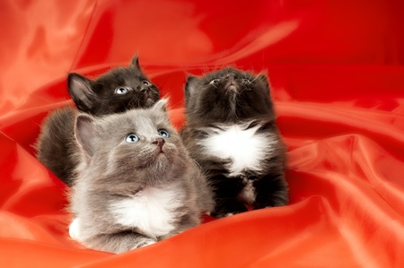 wee: two black and one gray beautiful fluffy little kittens,  on red background cloth