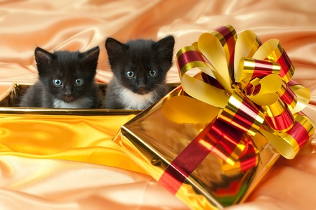 wee: two beautiful fluffy little kittens,in gold box-gift on gold background-cloth Stock Photo