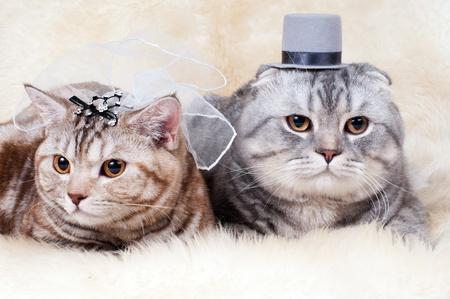 fluffy  beautiful adult cat, wedding couple breed scottish-straight and scottish-fold,  group  on white fur background  photo