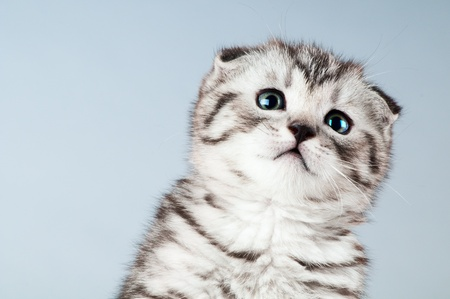 dolorous: fluffy gray beautiful kitten, breed scottish-fold,  close portrait  on grey  background , focus on face , lamentably look