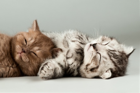 cat sleeping: two fluffy gray beautiful kitten, breed scottish-fold,  lie portrait  on grey  background