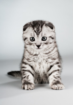 dolorous: fluffy gray beautiful kitten, breed scottish-fold,  close portrait  on grey  background  , lamentably look