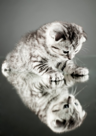 fluffy gray beautiful  kitten, breed scottish-straight,  stay on glass mirror,   on grey background  , look on himself Stock Photo - 12229055