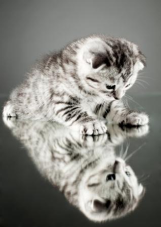 stay beautiful: fluffy gray beautiful  kitten, breed scottish-straight,  stay on glass mirror,   on grey background  , look on himself