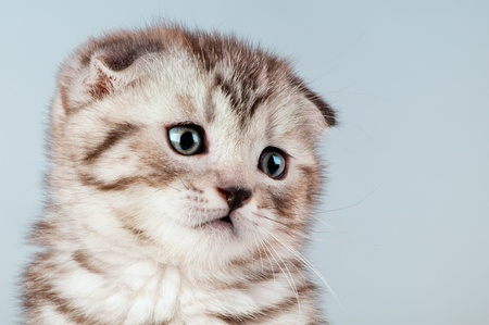 dolorous: fluffy brown beautiful kitten, breed scottish-fold,  close portrait  on blue  background , lamentably look Stock Photo