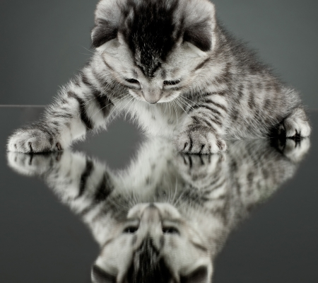 fluffy gray beautiful  kitten, breed scottish-straight,  stay on glass mirror,   on grey background  , look on himself photo