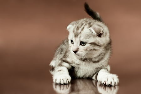 dolorous: fluffy brown  beautiful  kitten, breed scottish-fold,  close portrait  on brown  background  , lamentably look