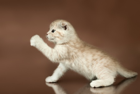 adroitness: fluffy brown beautiful  kitten, breed scottish-straight,  play upright  on brown background