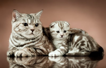 family group of two fluffy  beautiful kitten with mother, breed scottish-fold,  lie on brown  background  photo