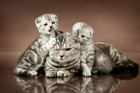 family group of three fluffy  beautiful kitten with mother, breed scottish-fold,  lie on brown  background  photo