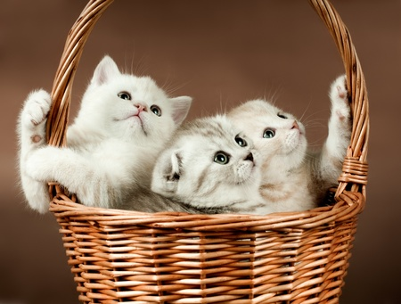 defenseless: group of white beautiful fluffy little kittens, in basket on brown background