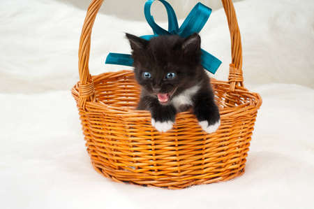 one black beautiful fluffy little kittens, in basket on white fur background Stock Photo - 12773626