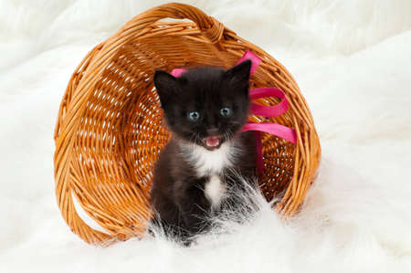 miaul: one black beautiful fluffy little kittens, in basket on white fur background