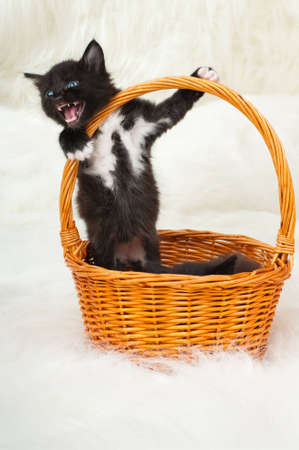 one black beautiful fluffy little kittens, in basket on white fur background Stock Photo - 12773651