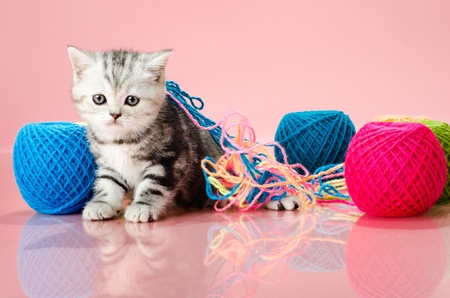 the grey  beautiful little  kitten with  many multi-coloured clew,  on pink  background , stare look on camera photo