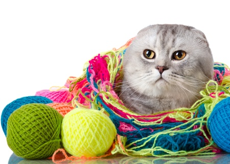 the grey adult cat with  many multi-coloured clew,  on white  background , isolated, stare look on camera photo