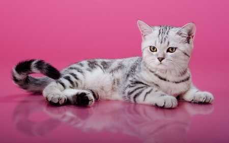 the grey  stripy beautiful little  kitten, sit on dark pink  background , look stare Stock Photo - 14574817