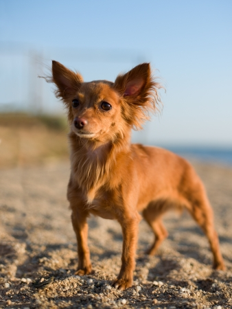 lapdog: photo beautiful  red-haired little dog on nature, evening light