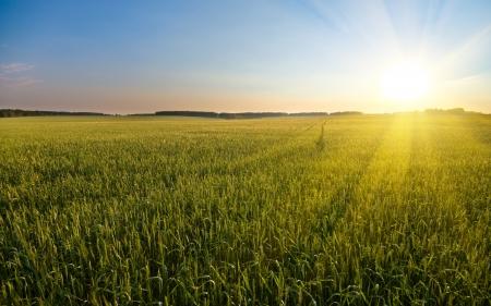 cosecha de trigo: gran campo de trigo verde joven que muchos, en la hermosa puesta de sol