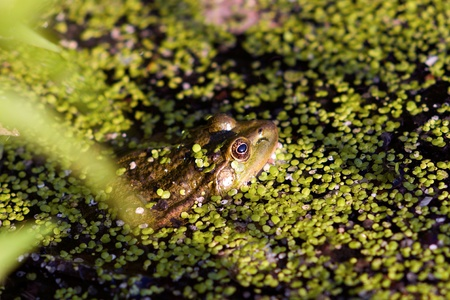 gross frog  on nature  in green marsh, closeup, horizontal photo photo