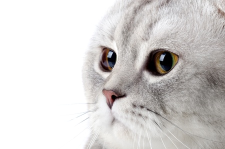 fluffy gray beautiful adult cat, breed scottish-fold, very  close up  portrait  , on white background, isolated photo