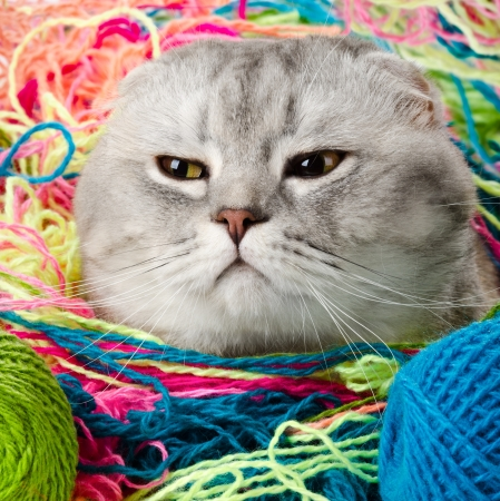 the grey adult cat with  many multi-coloured clew ,  artful  look , close up muzzle, humour photo photo