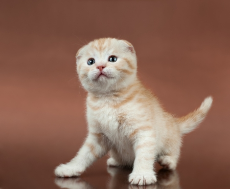 beautiful  little kitten,  breed scottish-fold,   on brown  background  ,stare look up photo