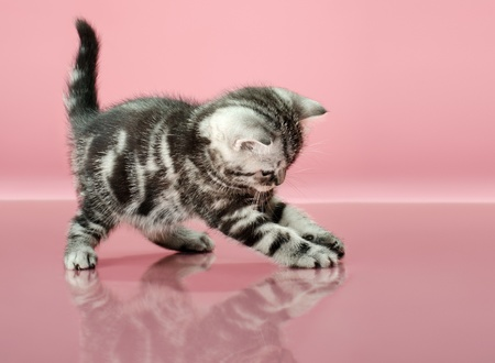 fluffy gray beautiful  kitten, breed scottish-straight, play upright  on pink  background   Stock Photo - 15100358