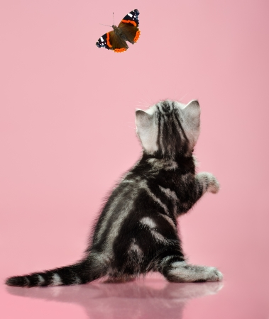 the grey  stripy beautiful little  kitten, stand backwards on pink  background , look back and catching butterfly Stock Photo - 15100361