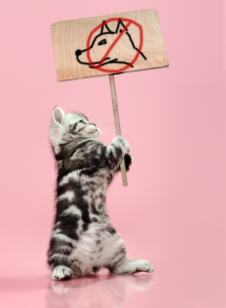banned: fluffy gray beautiful  kitten, breed scottish-straight, hold  banner on pink  background  , protest action contra dog