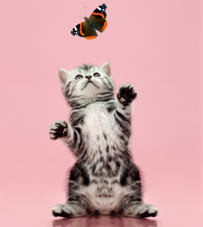 adroitness: fluffy gray beautiful  kitten, breed scottish-straight, look up and catch  butterfly on pink  background