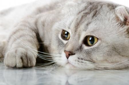 racy: fluffy gray beautiful adult cat, breed scottish-fold, very  close up  portrait