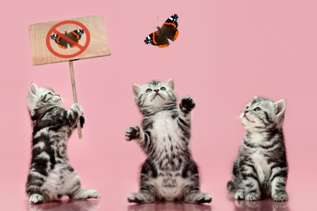 adroitness: group of  gray beautiful  kitten, breed scottish-straight, look up and  play with butterfly on pink  background