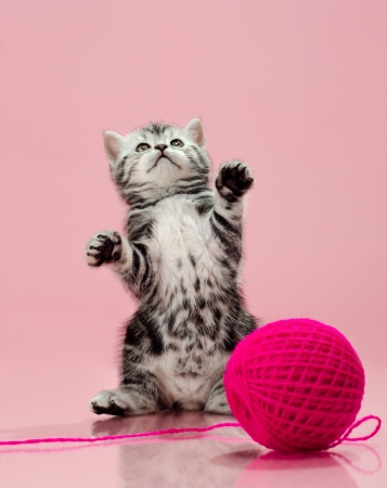 fluffy gray beautiful  kitten, breed scottish-straight, look up and  play upright  on pink  background   photo