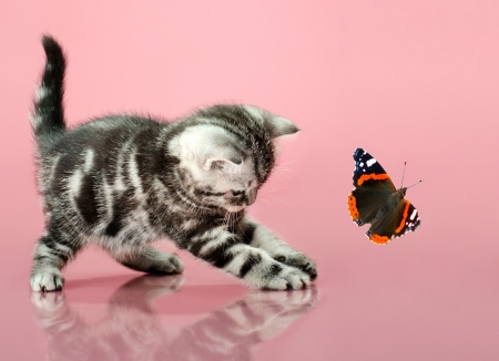 deftness: fluffy gray beautiful  kitten, breed scottish-straight, play upright  on pink  background