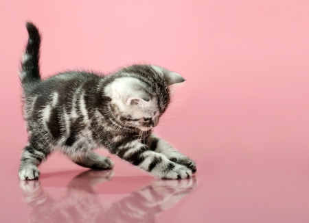 adroitness: fluffy gray beautiful  kitten, breed scottish-straight, play upright  on pink  background