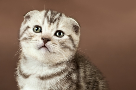 dolorous: fluffy brown  beautiful  kitten, breed scottish-fold,  close portrait  on brown  background  , lamentably look,  close  muzzle