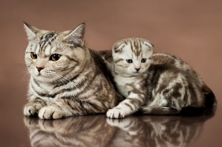 family group of  beautiful kitten with mother, breed scottish-fold,  lie on brown  background  photo
