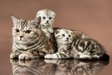family group of two  beautiful kitten with mother, breed scottish-fold,  lie on brown  background  photo
