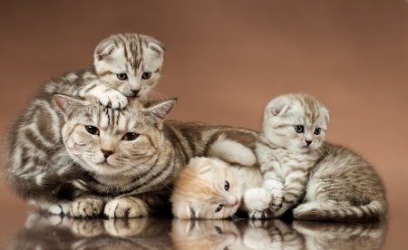 young animal: family group of three  beautiful kitten with mother, breed scottish-fold,  lie on brown  background