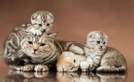 gato gris: grupo familiar de tres gatito hermoso con la madre, raza scottish veces, mentir sobre fondo marr�n Foto de archivo