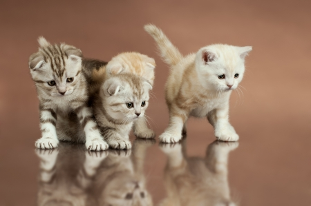 dolorous: group of four fluffy  beautiful kitten, breed scottish-fold,  on brown  background