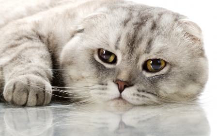 fluffy gray beautiful adult cat, breed scottish-fold, very  close up  portrait   photo