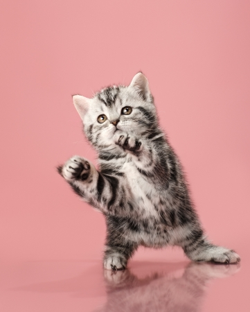adroitness: fluffy gray beautiful  kitten, breed scottish-straight, look up and  play upright  on pink  background   Stock Photo